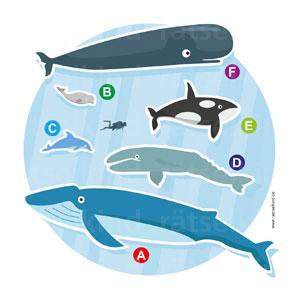 Im Vergleich zu einem Menschen sind diese Meerestiere riesig. Ordne die Buchstaben den folgenden Namen zu: Grauwal, Beluga (auch Weißwal genannt), Pottwal, Blauwal, Orca, großer Tümmler.